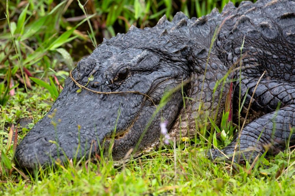 large American alligator always keeping an eye out