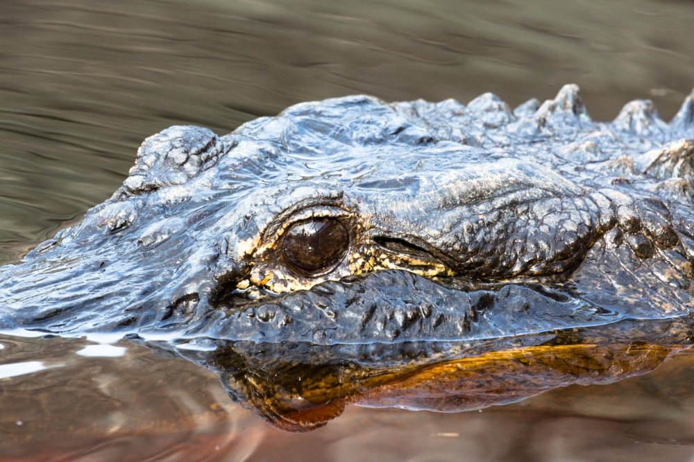 seeing eye to eye: a  very  close up of the alligator