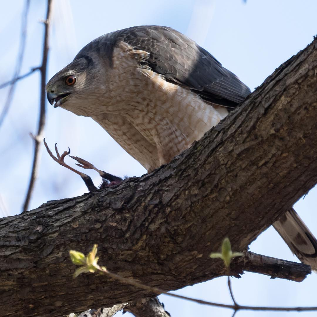 A Cooper's Hawk not so discreetly eating it's meal. Photo:  Barry Scully