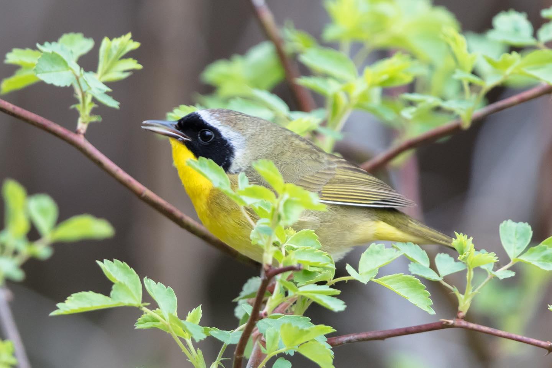 Common yellow throat warbler
