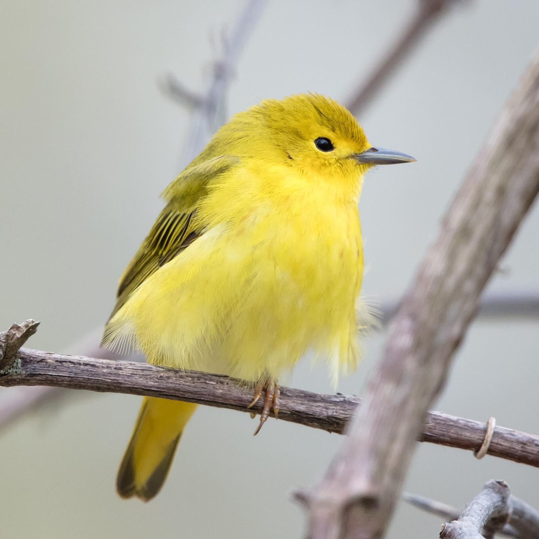 Female Wilson's warbler