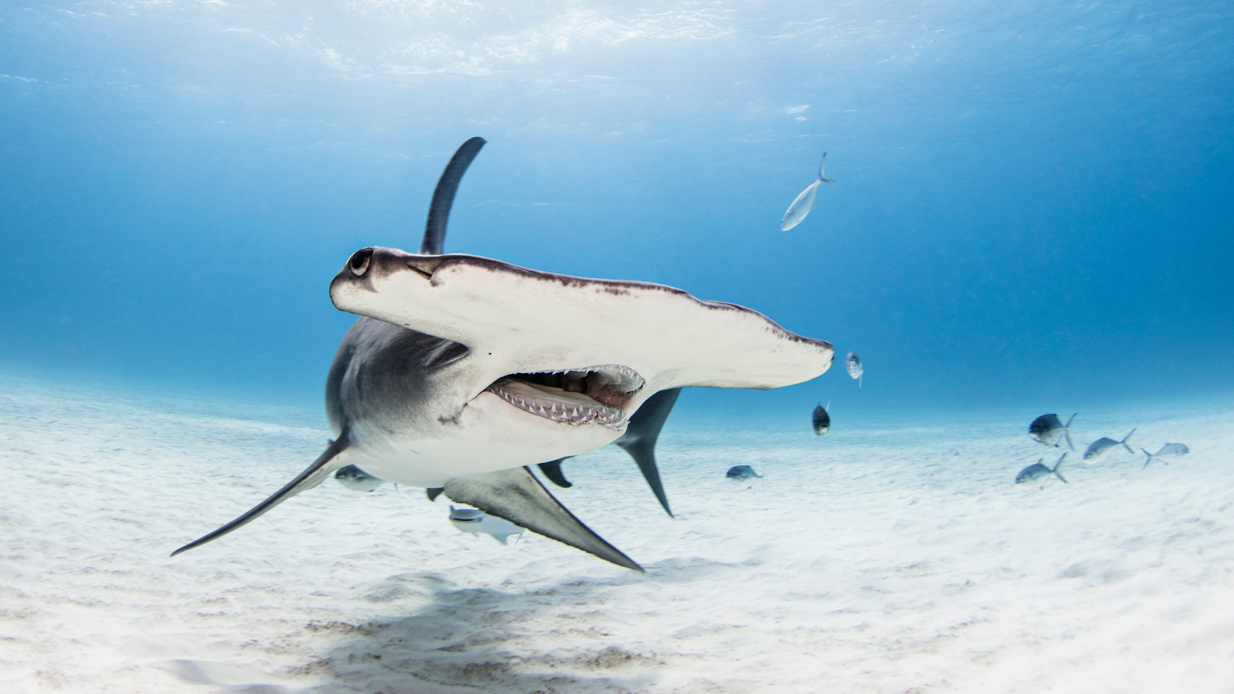 Great Hammerhead in Bimini, Bahamas. Photo © Ken Kiefer