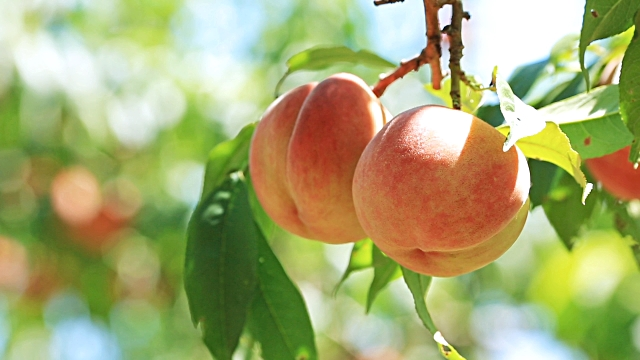 Peach Pic.jpg