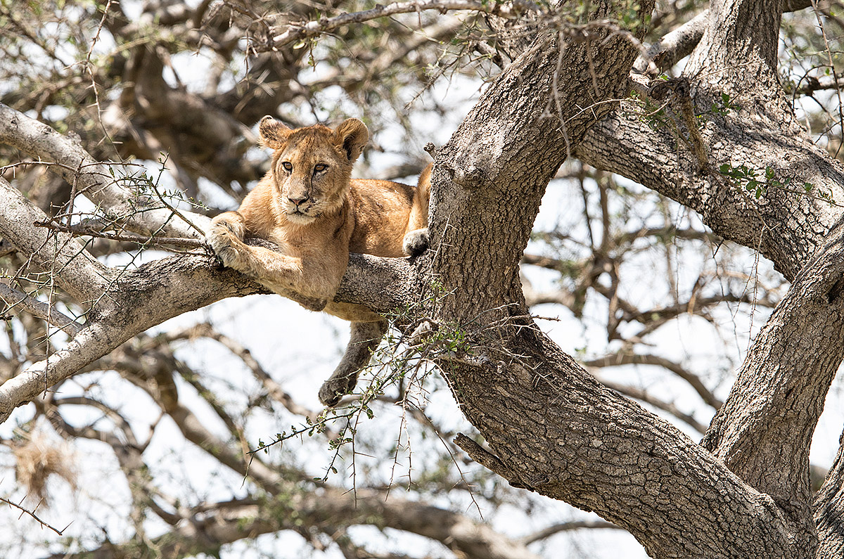 """II caught this young Lion escaping the midday heat. She had gone high up in the tree to catch the breeze on a hot afternoon."""