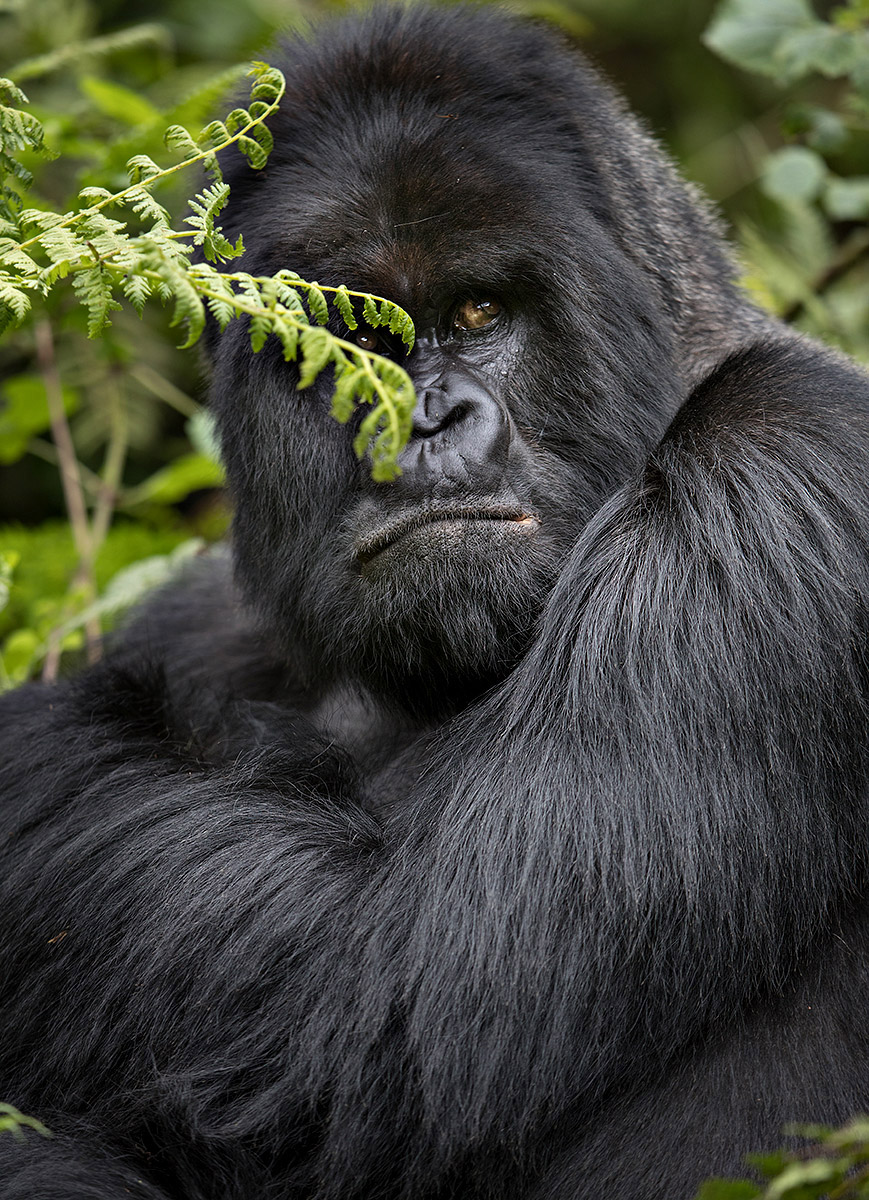 """I've got this… this leader of a troop of Silverback Gorillas seems content to have it all under control. It's the role of the leader to always keep a watchful eye and his expression says it all."""