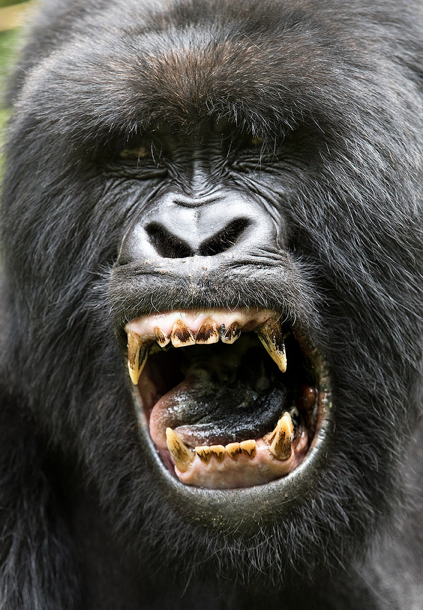 """There are 2 easy and immediate misperceptions here— it's not about bad hygiene and it's not about ferocity. The discoloration is a natural result of diet. And, it's just a yawn… gorillas are incredibly gentle and sweet…until you disrespect them!"""