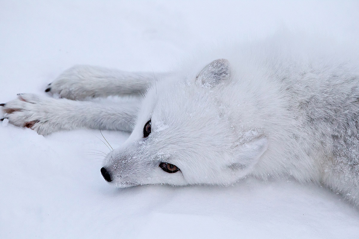 """It's all about the eyes with an Arctic Fox. I was perched up high, typically not a great vantage point for a good photograph, but she plopped down beneath me and looked up at me… almost as if on cue."""
