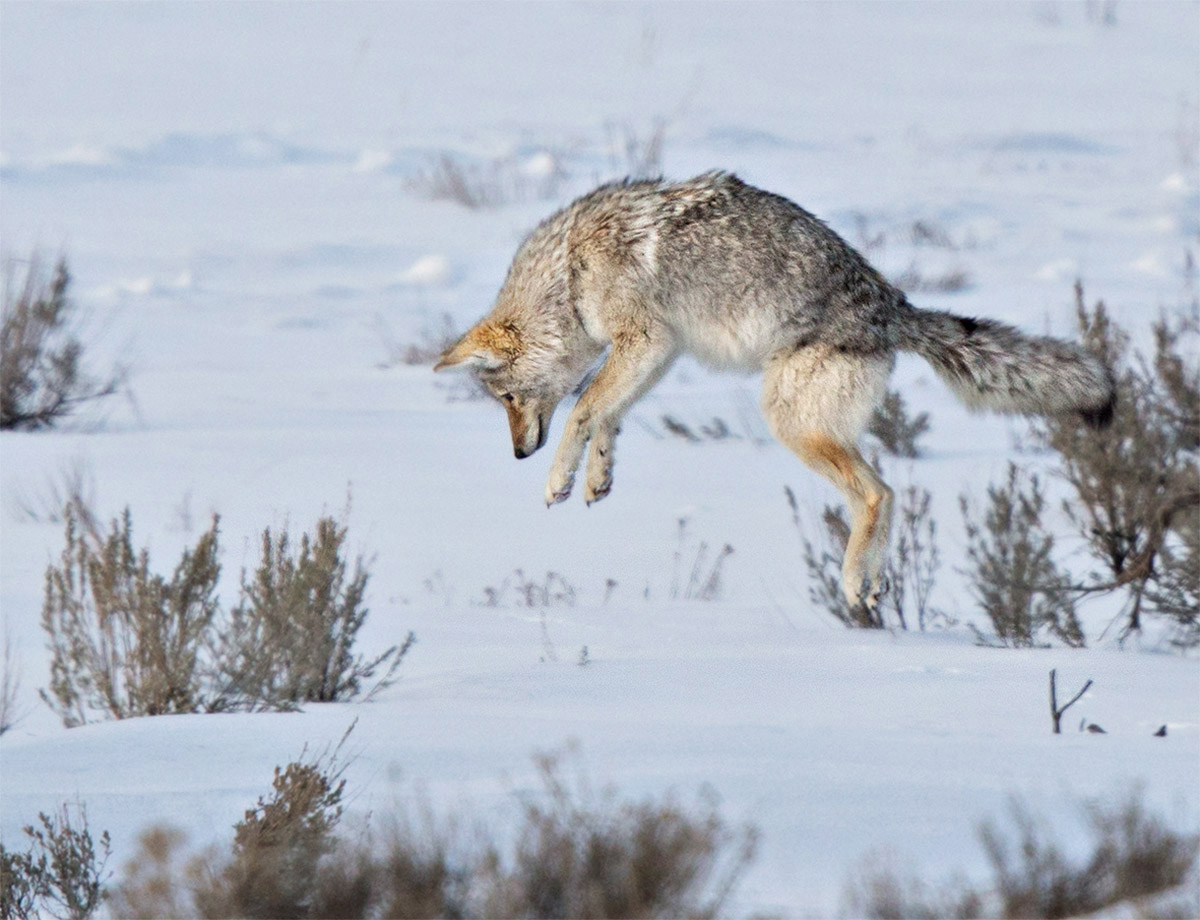 """The Coyote has a keen sense of hearing and smell… her prey, the vole, exist just feet beneath the snow. When alerted, she leaps in this interesting manner in order to pierce the snow and capture her meal."""