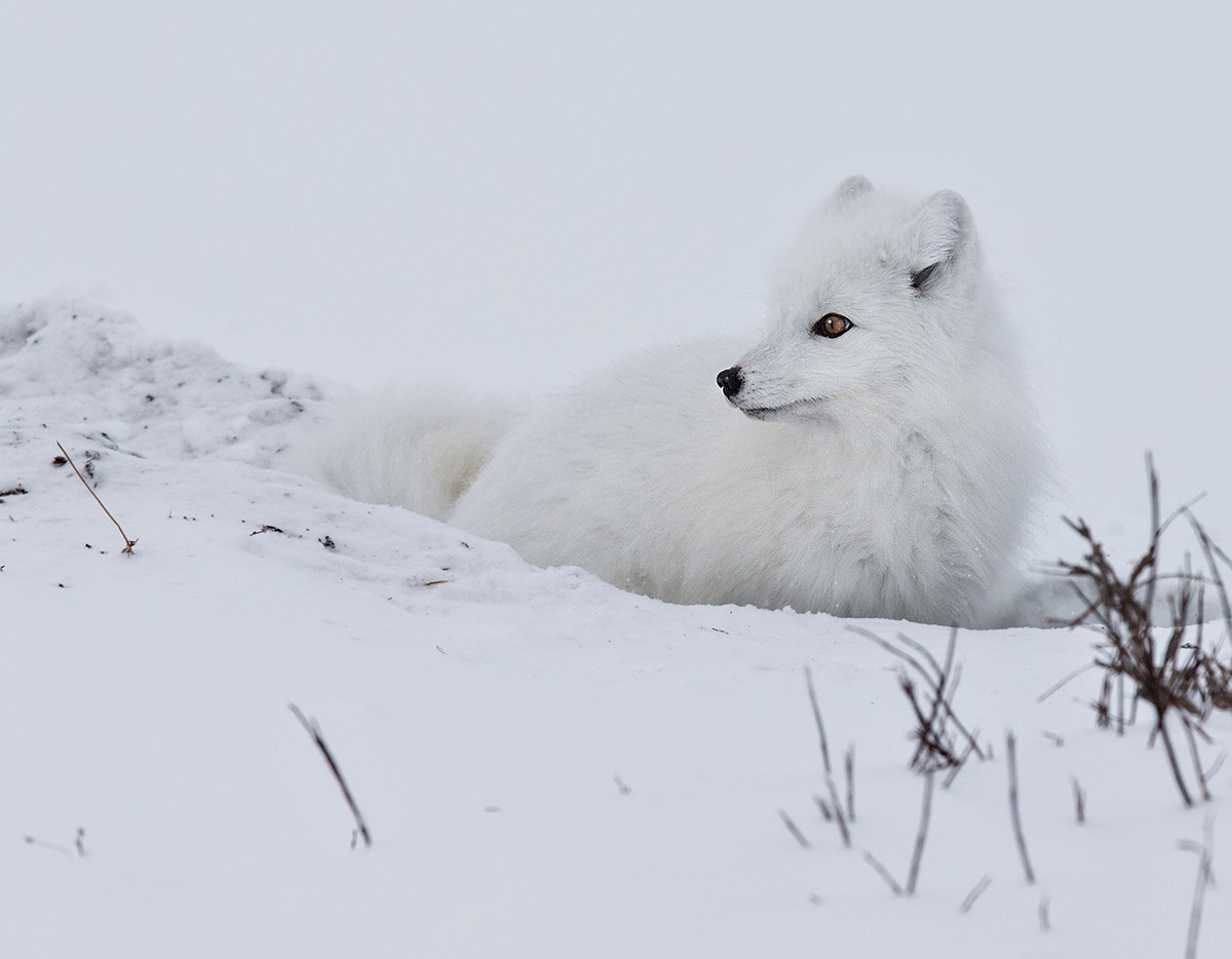 """Just look at the gorgeous and natural camouflage of this Arctic Fox. All that blinding white and those cinnammon eyes."""