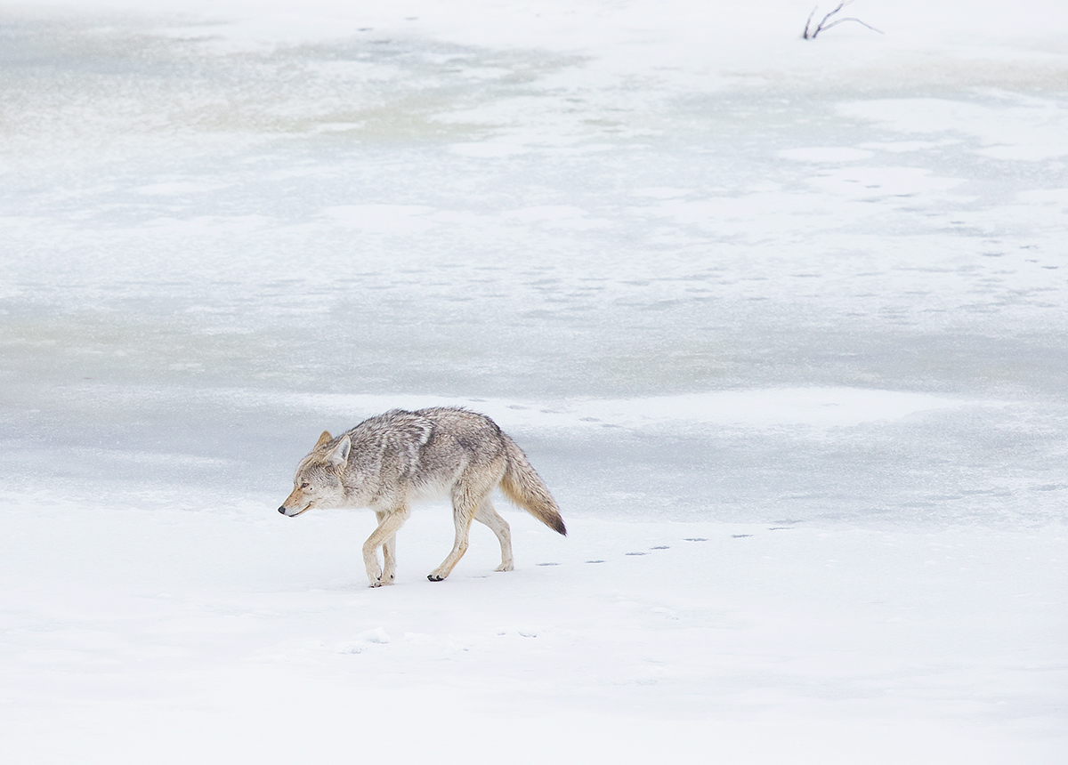 """This coyote is on the prowl in Yellowstone. He knew of a Grizzly kill and was surveying the site, awaiting his chance to safely sneak in."""