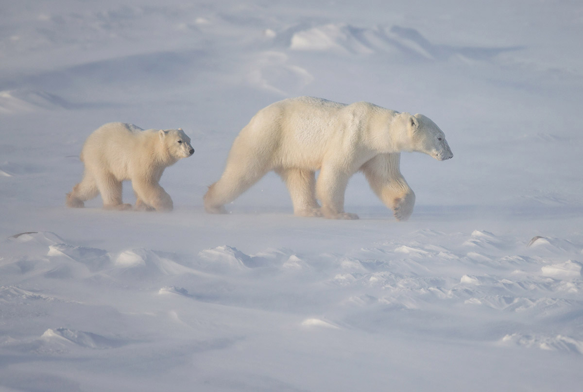 """On a sinking ship it's 'women and children first'. Not so on a frozen tundra… this Mother and her cubs had held back, waiting until the males had headed out to make their move to the sea ice."""