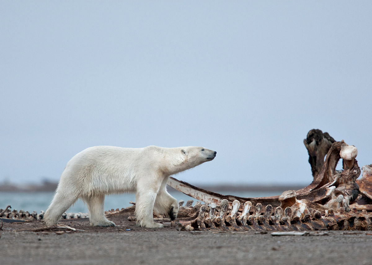 """This is all about scale… the massive Polar Bear against the even more massive jawbone of the Bowhead Whale."""