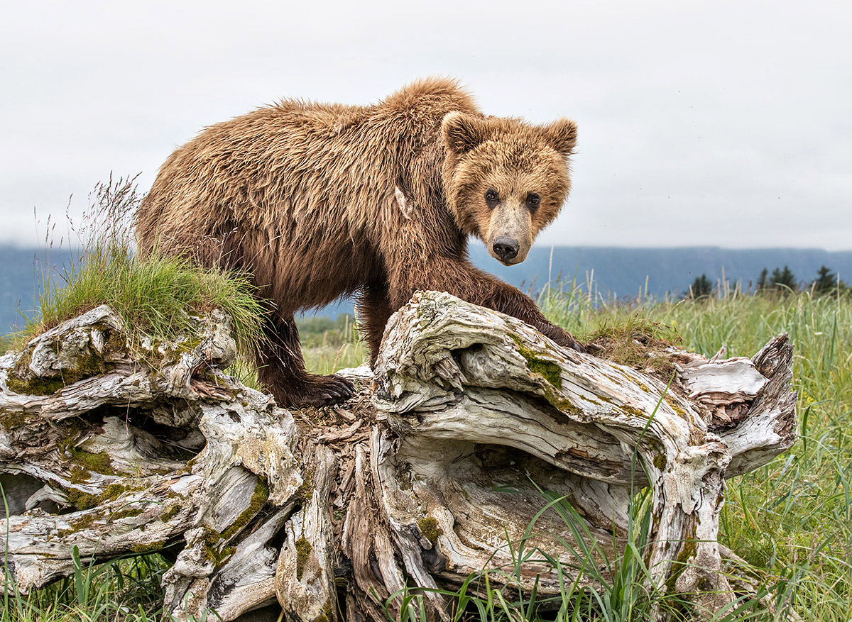"""I kept a safe distance between this mother and her cubs, crouched beside this large stump, as they passed by. You can see the moment she 'noticed' me in the beautiful bend of her nose."""