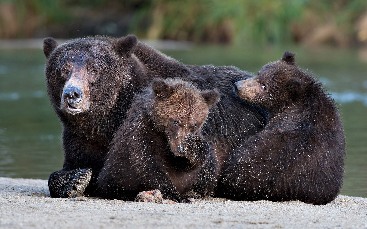 """Who caught whose eye here? Look close at Mom's disfigured face, likely a result of fighting to protect her cubs. That disfigurement in no way diminishes her beauty. I'd argue it enhances it."""