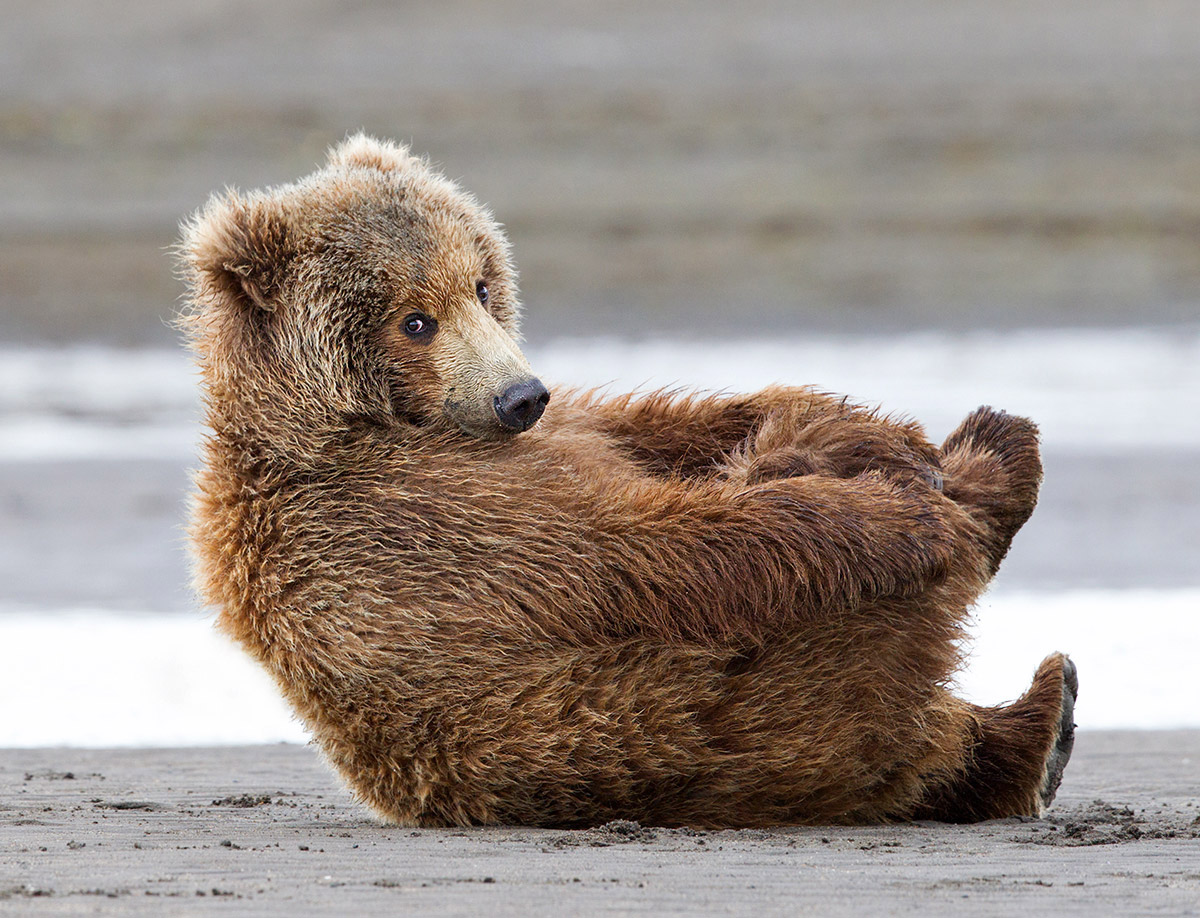 """Yoga Bear! I found my distance and got low on my stomach to catch this moment of play. A friend said it looks like he's tying his shoes…I love that!."""