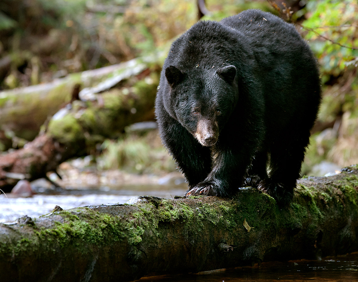 """""""Many of my favorite images are side-lit like this one of a Black Bear using the log as an on-ramp… a nice access point for surveying for salmon."""""""