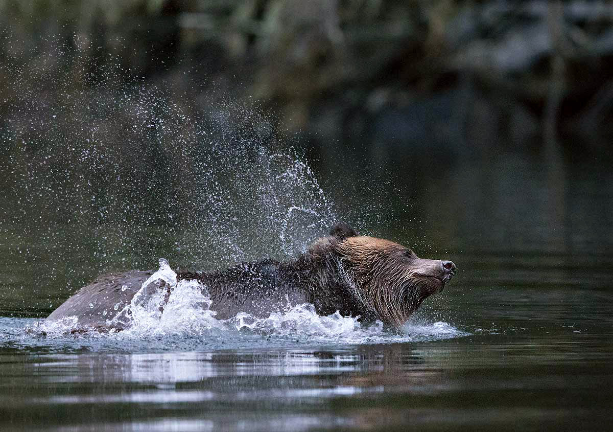"""""""Here in the Great Bear Rain Forest, water really is a way of life for these fantastic creatures, the Grizzlies."""""""