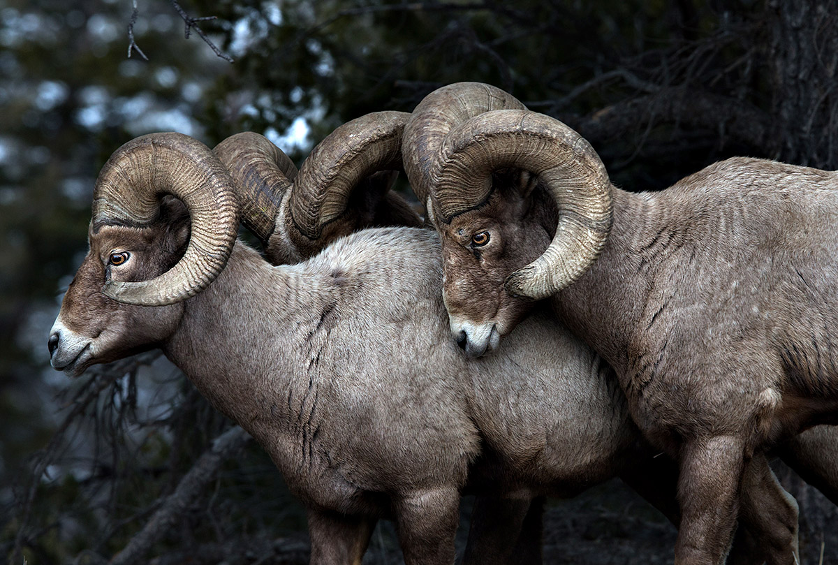 """The big man gets the girl! I captured these Big Horn Sheep in Yellowstone as rutting season was approaching. The males were all getting worked up and jockeying for position as their hormones were ratcheting up."""