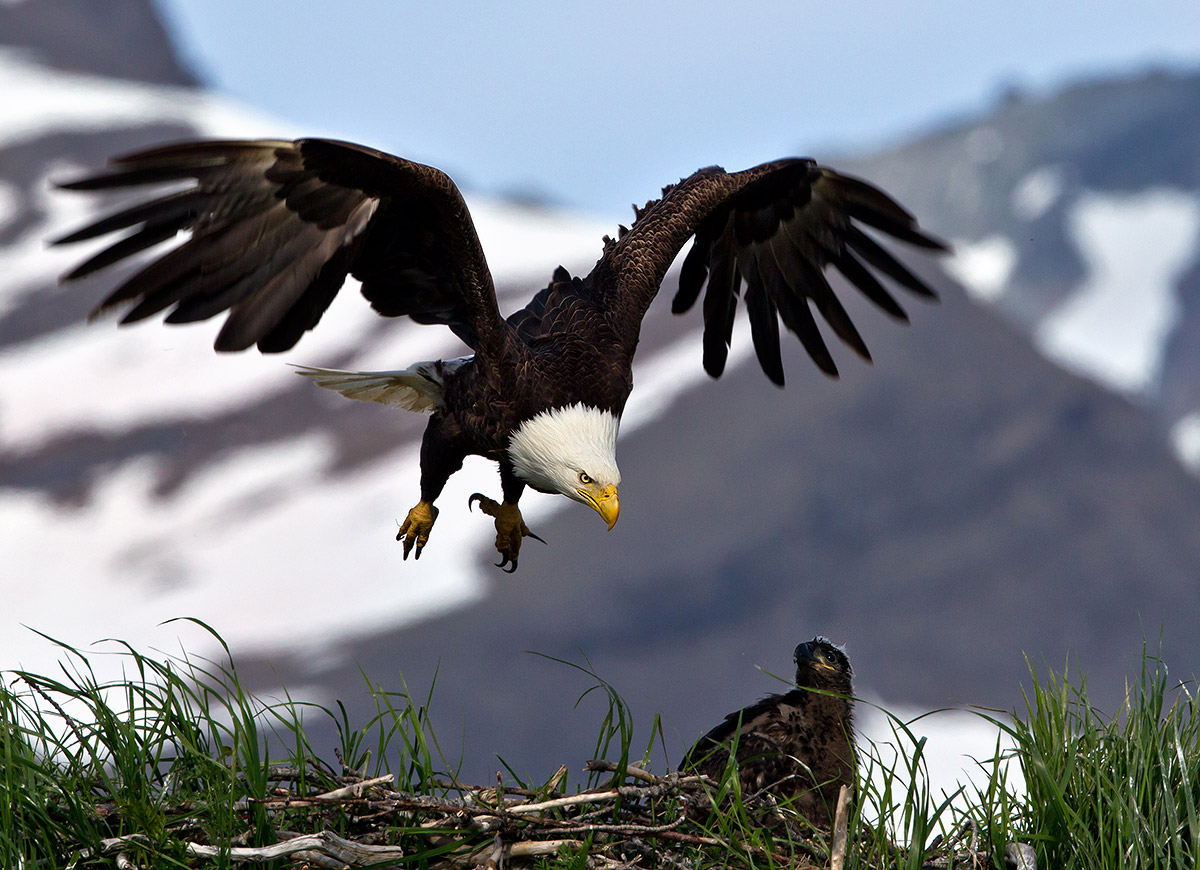 """Sometimes we can take life for granted. This image of a Bald Eagle working hard to care for and feed her eaglet reminds me of that constantly. The nest was perched on a rocky outcropping in the Kukak Bay area of Katmai, Alaska where for several days I watched the constant coming and going, the daily struggle for survival in the wild, play out."""