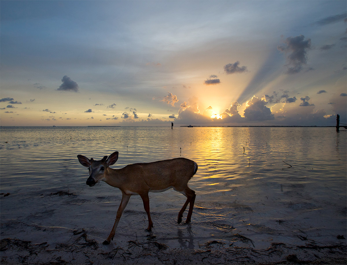 """I love this shot of an adult Key Deer taken in Little Palm Island. A protected species they are incredibly habituated. This one was kind enough to work with me and provide a quite unique image of a deer at sunset, near water no less."""