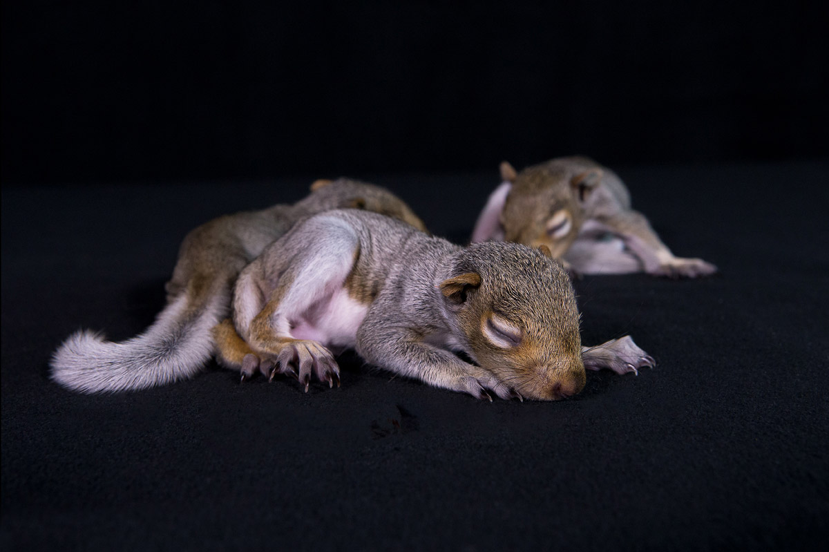 """""""These orphaned baby squirrels are just weeks old. Haven't even opened their eyes yet. They are the victims of man's activities and a damaged nest. Likely caused by land development. In time, the good people at Mercer will nurture them and return them to the Wild."""""""