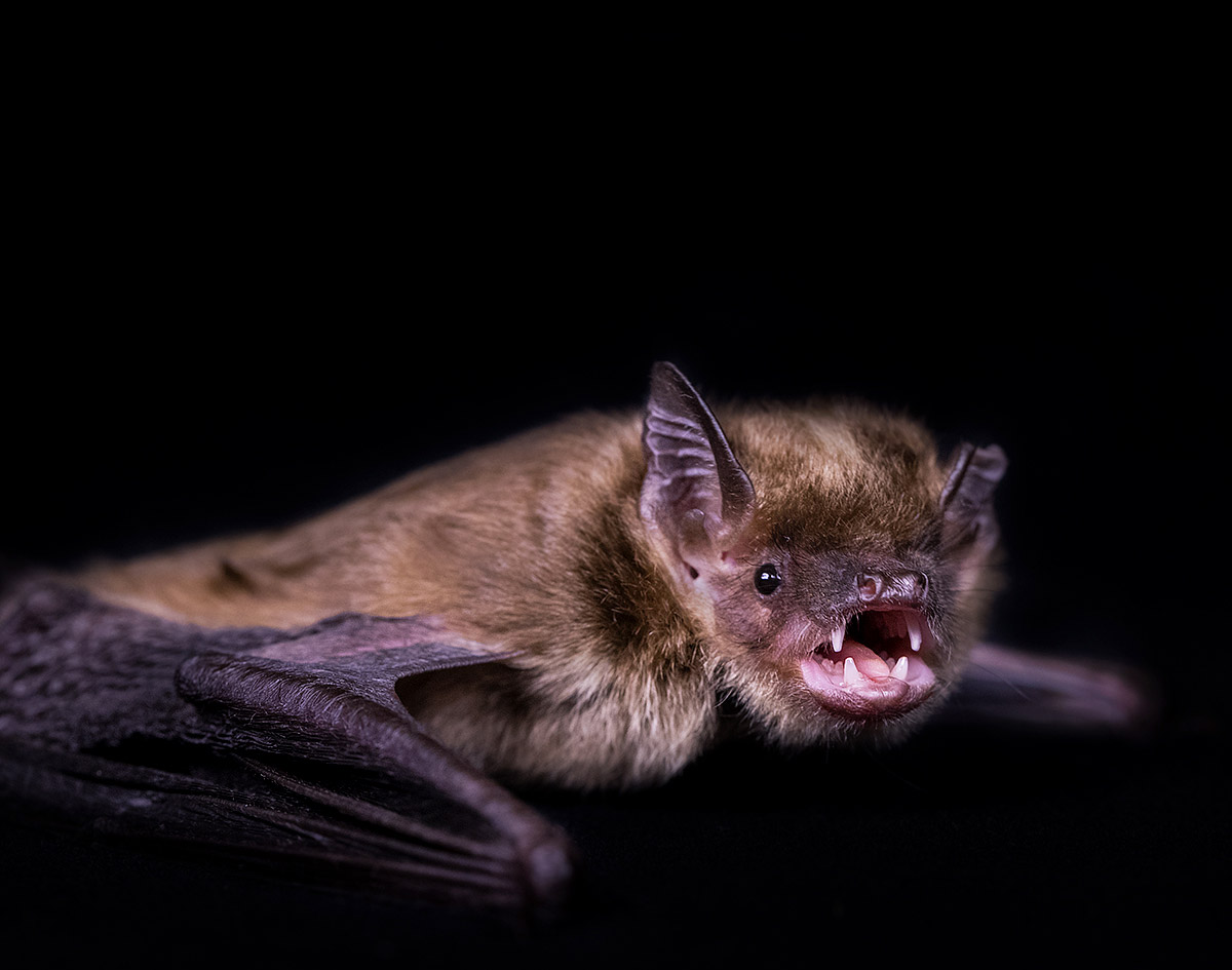 """""""The Brown Bat's survival is under tremendous pressure from disease. If you look beyond the folklore and wives' tales you will find a beautiful creature, with gorgeous fur who is far from scary."""""""