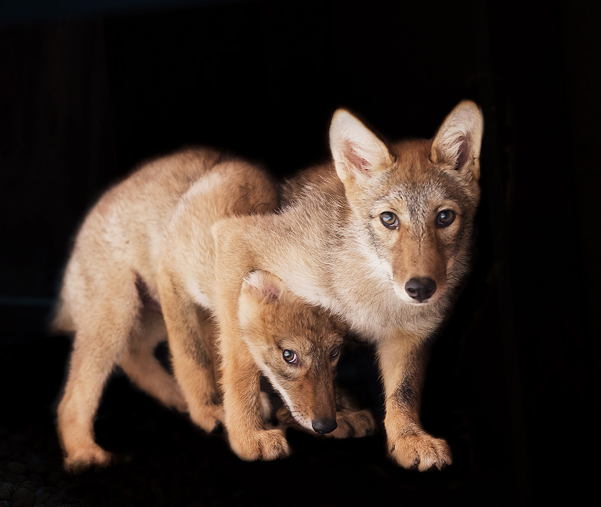 """""""These Coyote Pups wanted nothing to do with me. You can see the one sibling hiding behind the other… this is his exhibiting a healthy fear of humans, critical to their future survival."""""""