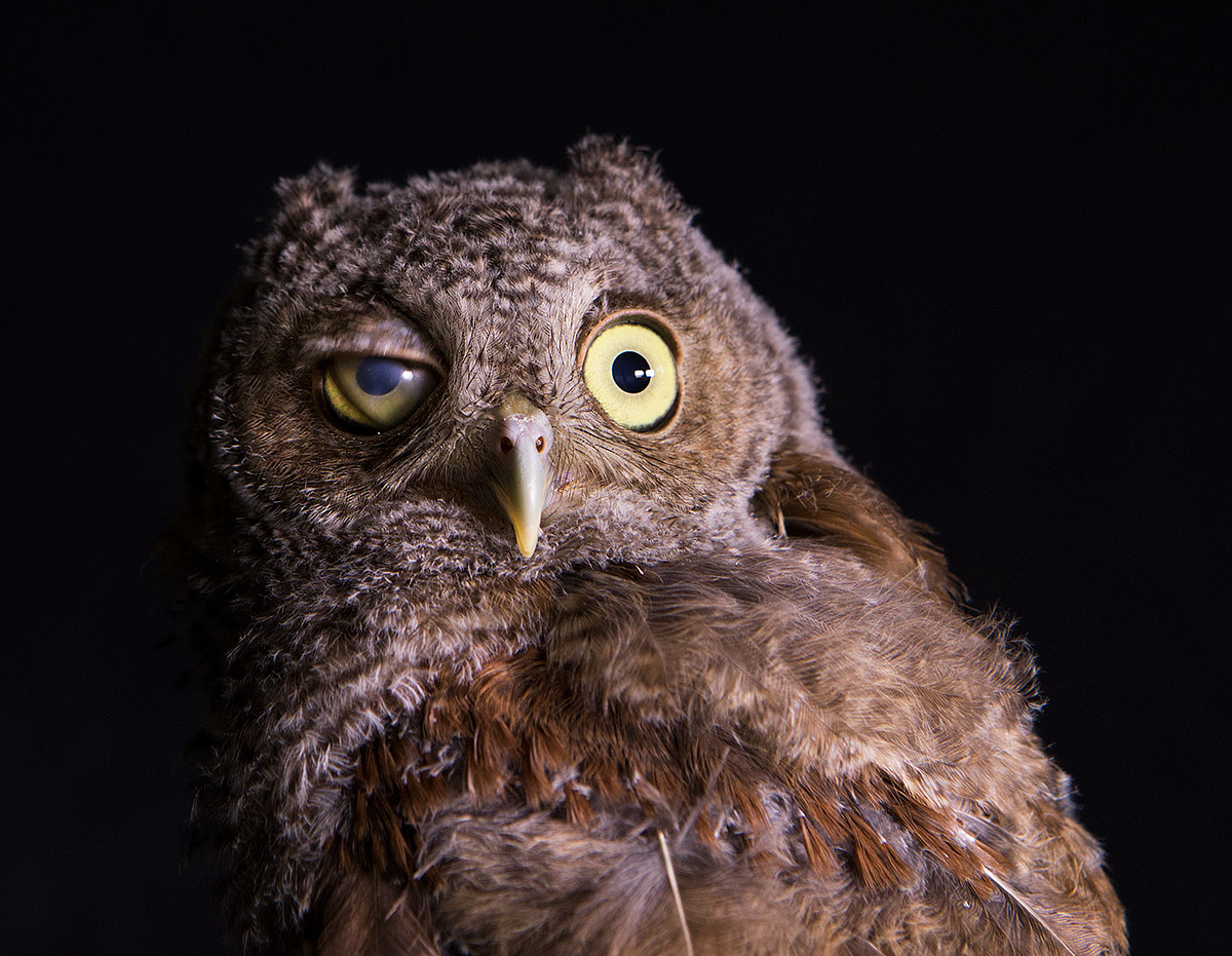 """""""This immature Screech Owl, like all of her ilk, has a protective membrane on her eyelid which causes them to blink regularly. I was able to catch her in that moment."""""""