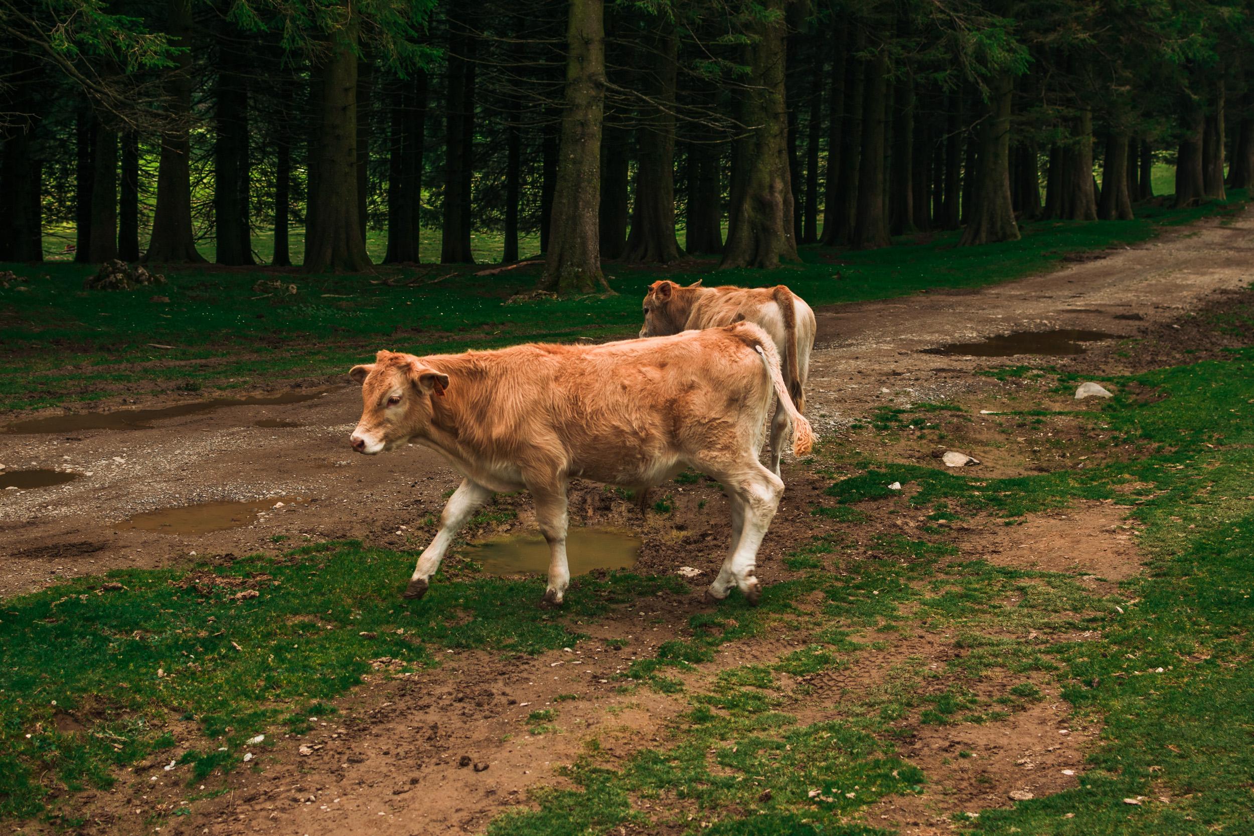 basque cow