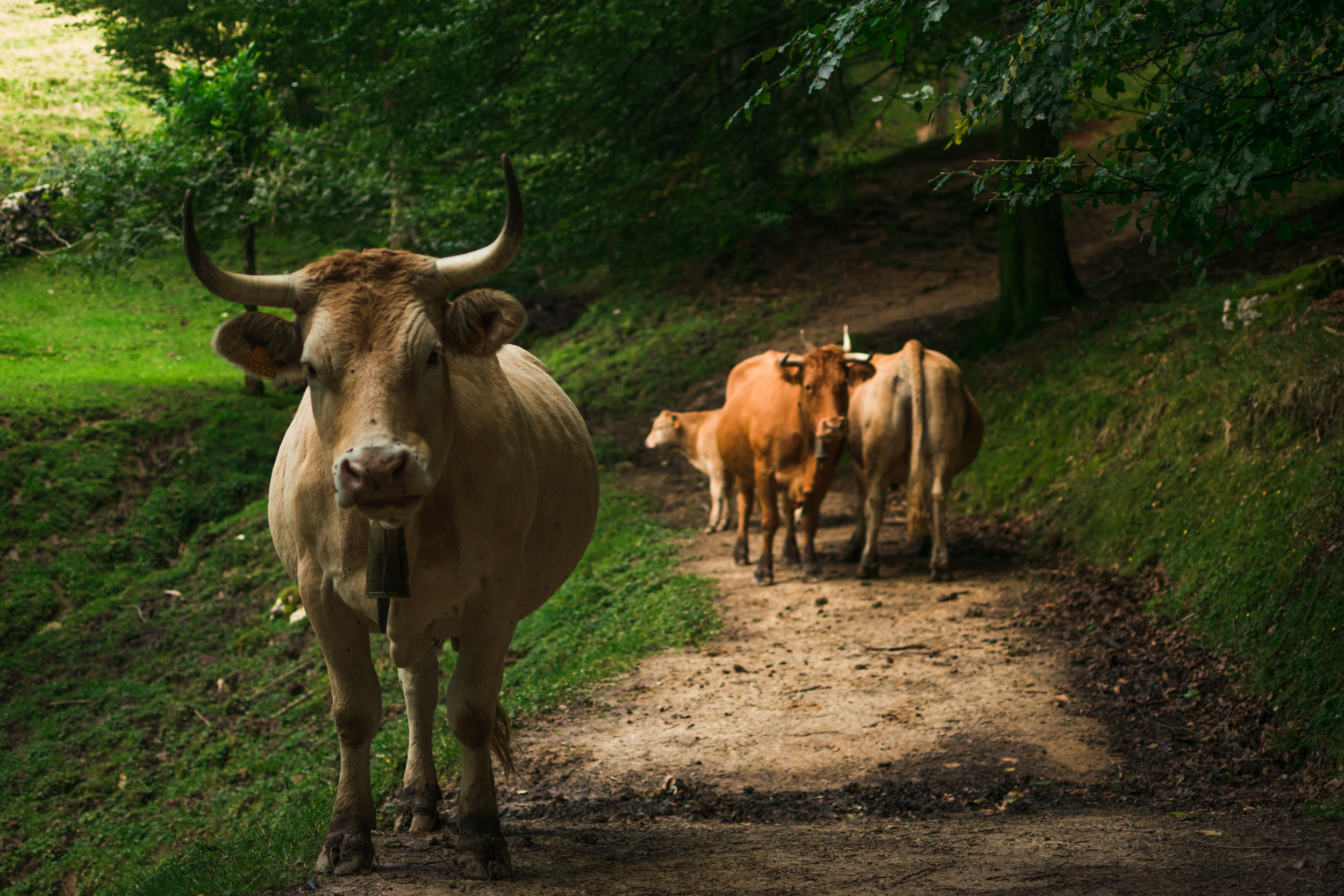 cow in trail