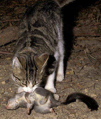 Feral cat eating an endangered phascogale  Source: Fredy Mercay (National Environmental Research Program's Northern Australia Hub)