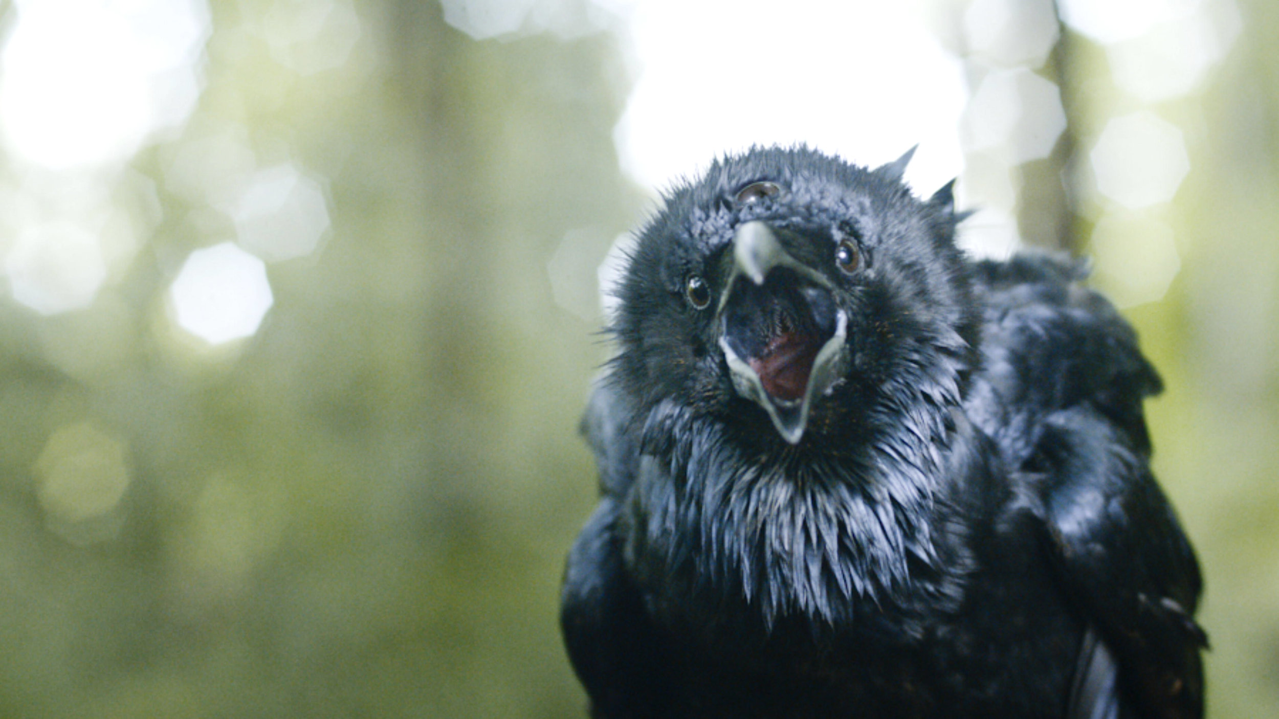Copy of Raven, Game of Thrones