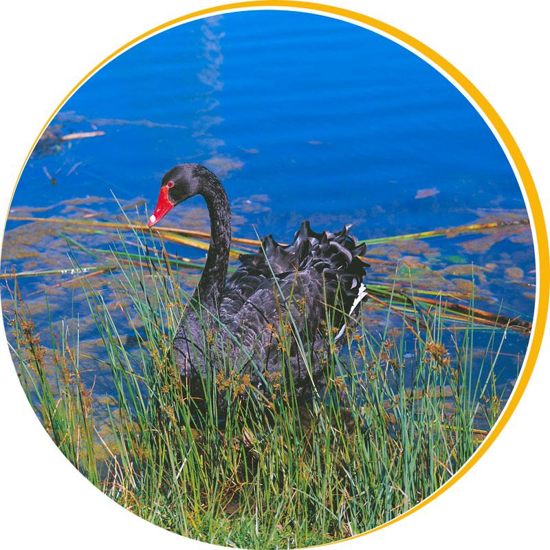 black-swan2.jpg
