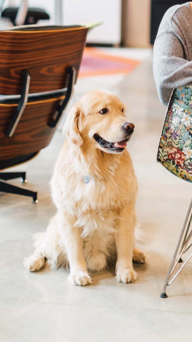 """Zoulamis's golden retriever, Bowie, the office """"greeter,"""" beside an Eames chair Bowerbird created called """"Pacific Palisades Gardens"""" after Ray Eames and the gardens of her California home."""