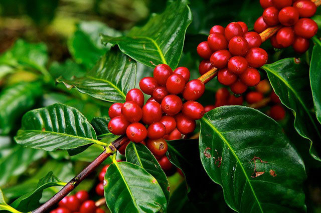 Robusta and Arabica coffee beans are the two most common varieties of beans used.They are however very different. -