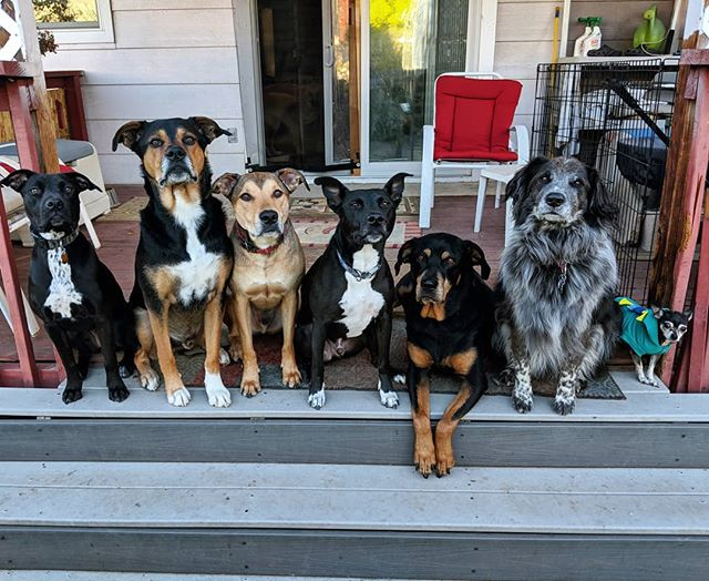 The only thing better then a meeting is a team meeting 🐶🐶🐶🐶🐶🐶🐶🙋🏼♂️ || #dog #pitbull #rottweiler #chihuahua #shepherdmix #BorderCollie #bigears #teammeeting #cute #crew #thursdays #colorado #dogsofco #delight_pets #90dogs #dogscorner #dogsofinstagram