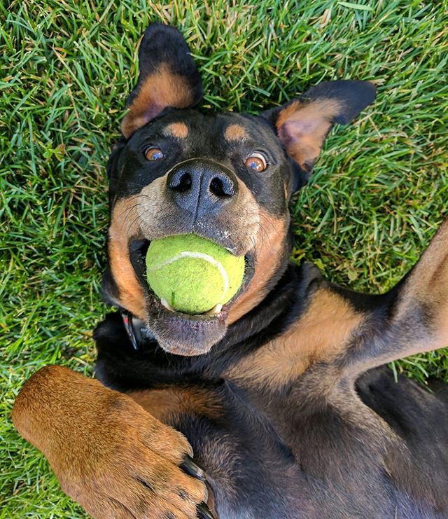 This is how I avoid getting my ball taken and thrown again, don't these humans know I DON'T LIKE TO PLAY FETCH! || #dog #doglife #rottweiler #dogsofig #dogsofinstagram #dogsofco #dogscorner #90dogs #rescue #rescuedog #adoptdontshop #rottweilersofinstagram #fetch #lazydog #mygirl