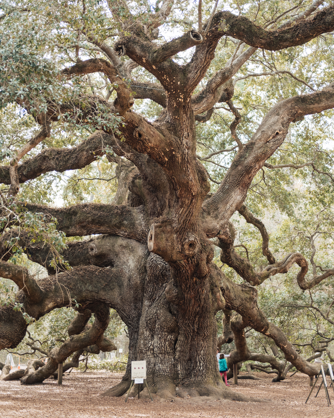 angel-oak-tree-charleston.jpg