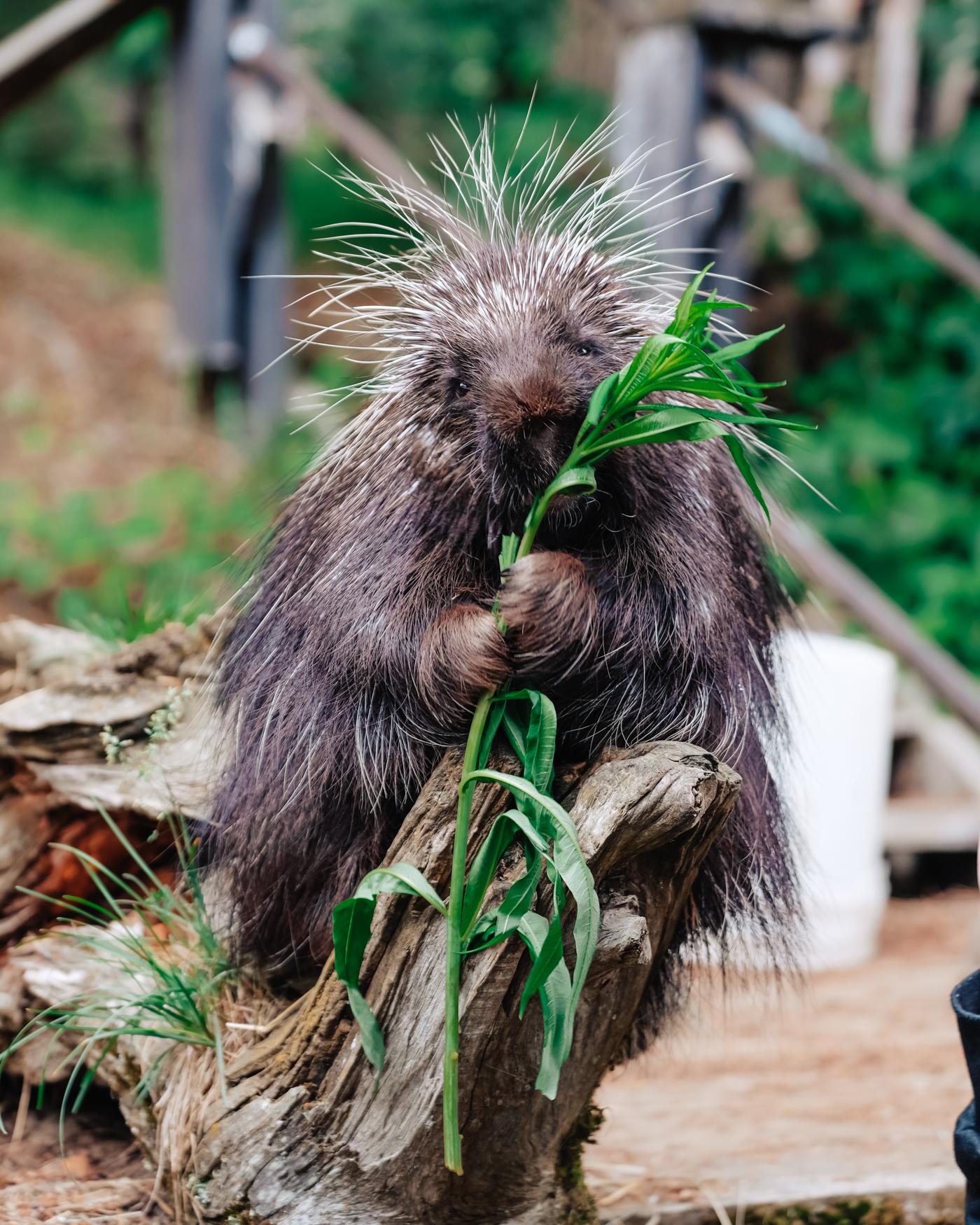 porcupine-eating.jpg