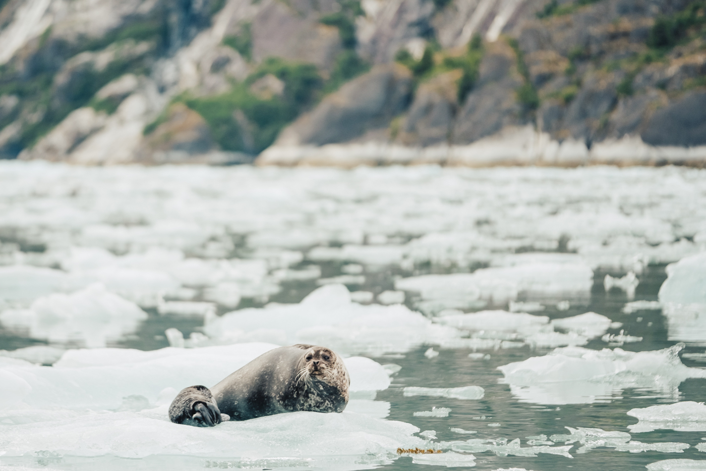seal-pup-ice-alaska.jpg