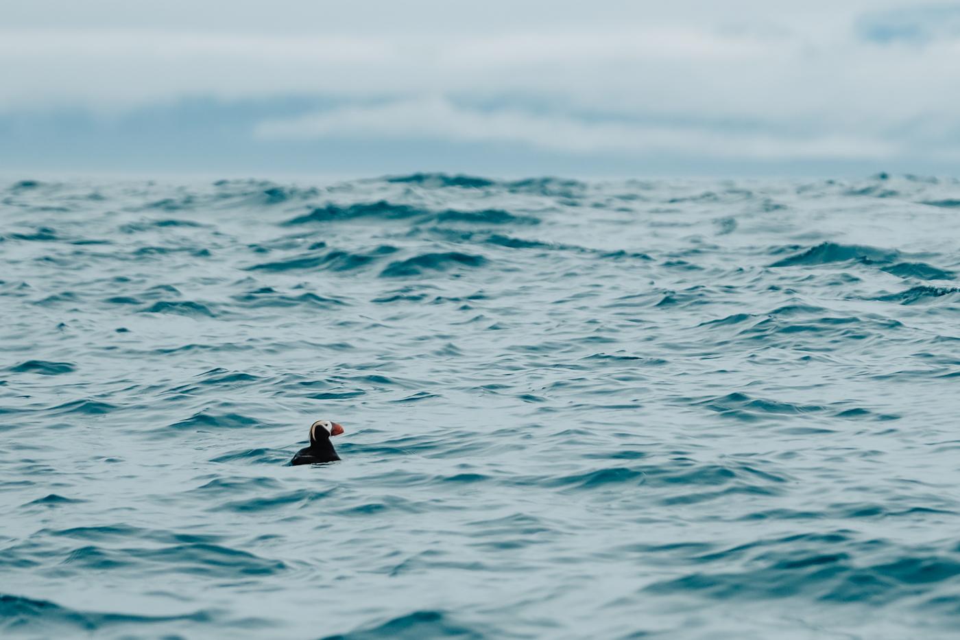 puffin-water-alaska-ocean.jpg