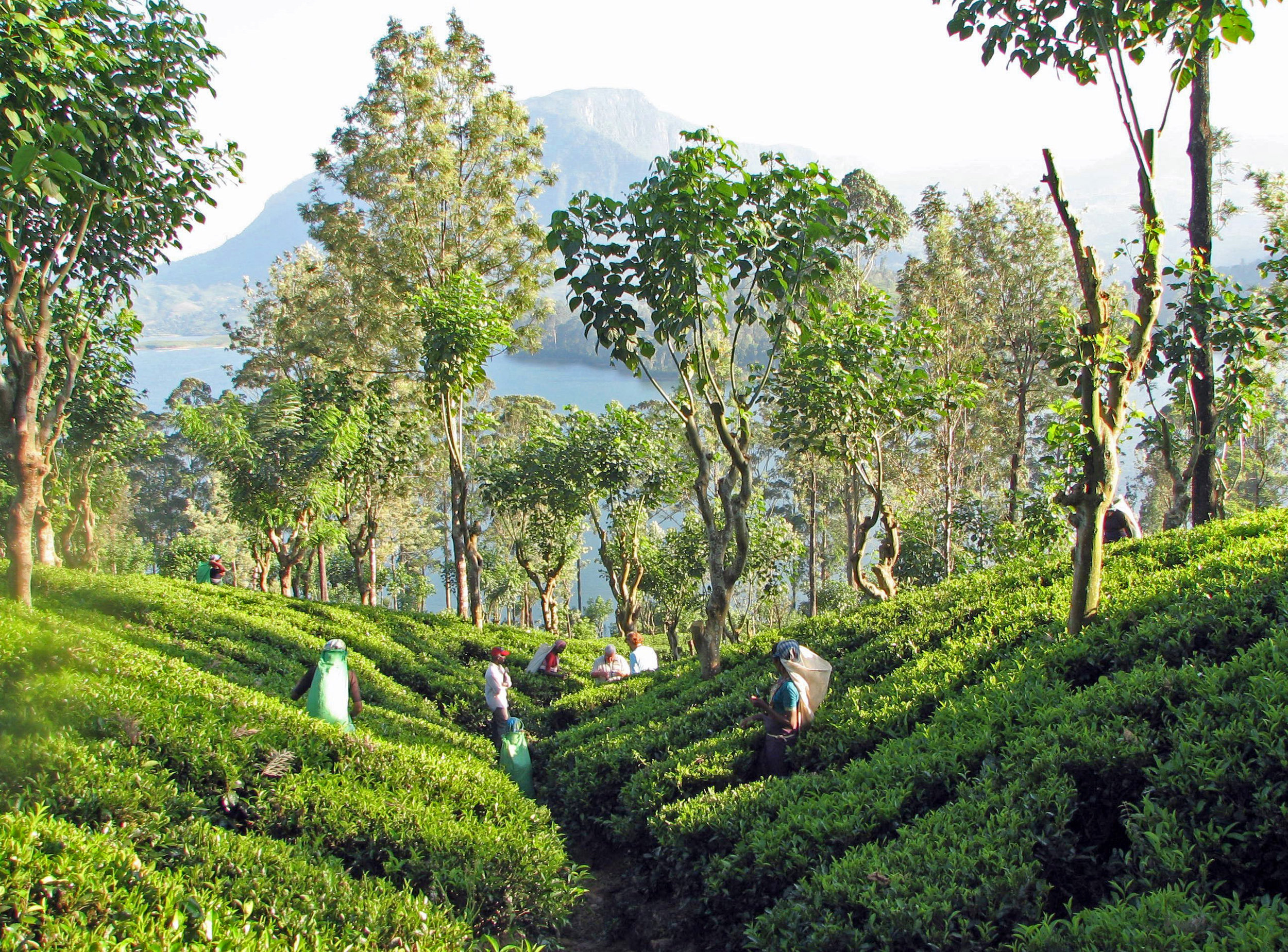 Tea_plantation,_Sri_Lanka.jpg
