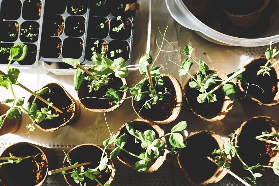 Faire ses pousses au printemps pour conmencer son propre jardin et une des façons d'arriver au zéro déchet.