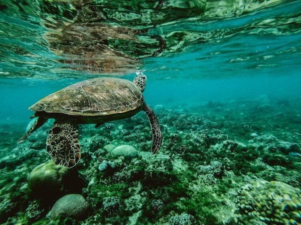 MIKONOWICZ-sea-turtle-aquatic-corals-min.jpg