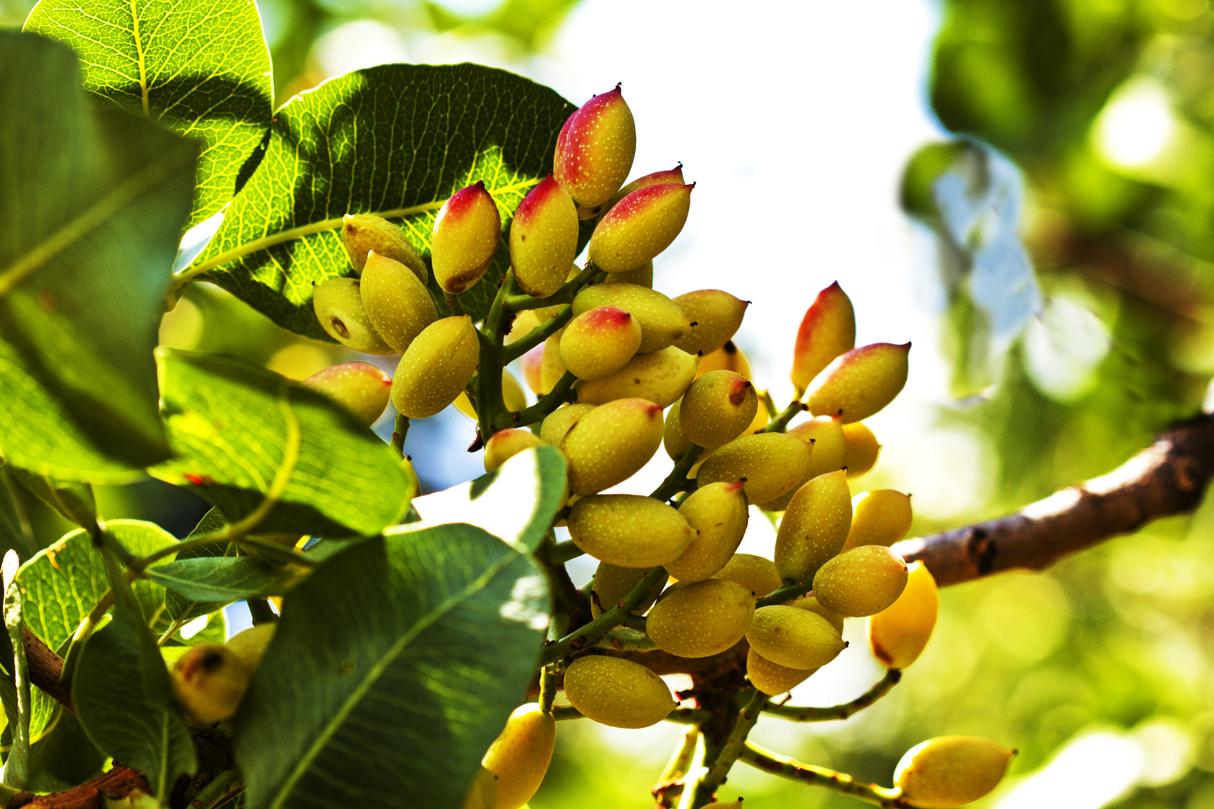 On the tree, a pistachio fruit. The seed, in its characteristic shell, or  By Paolo Galli from Wikimedia Commons