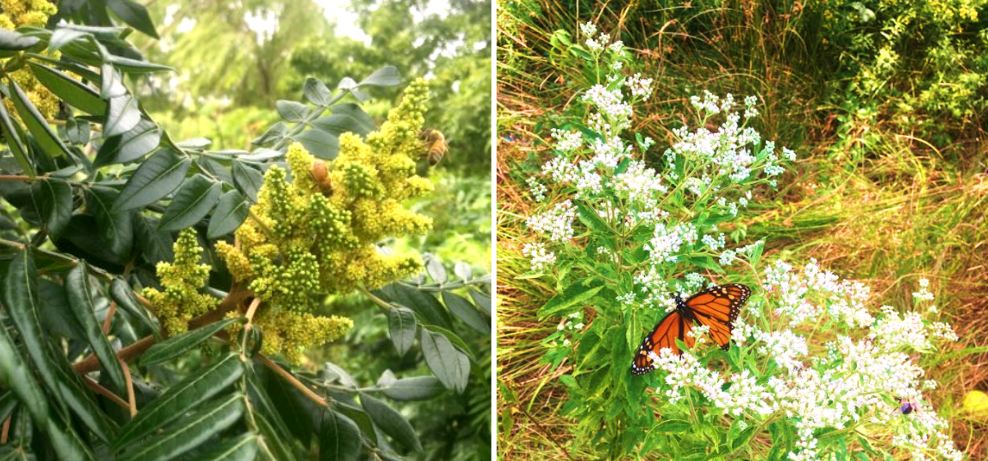Figure 4. Bees and a monarch butterfly enjoying flowers in vegetated stormwater basins. Basins could provide important habitat area for threatened pollinators.