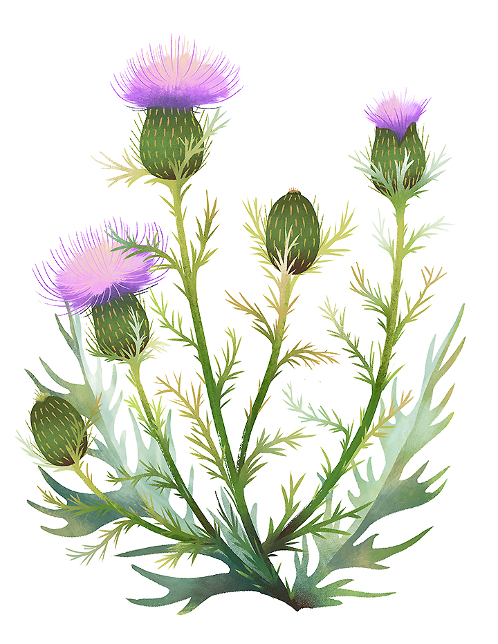 Field Thistle
