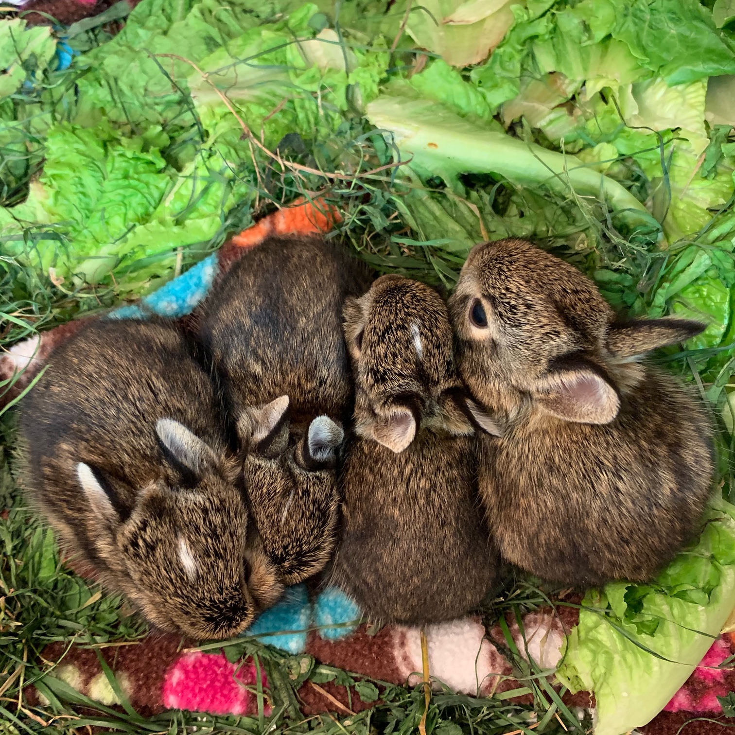 Young Cotton-Tail Rabbits
