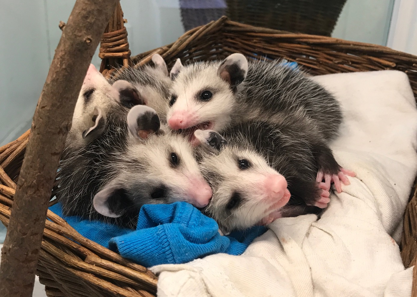 Virginia Opossums -