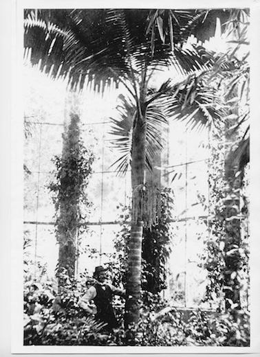 Head gardener in the Palm House at Whitbourne Hall circa 1900 provided by Heather Colley .JPG